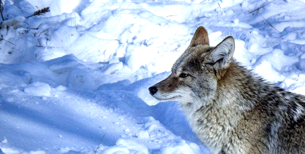 Latest Coyote Hunting News