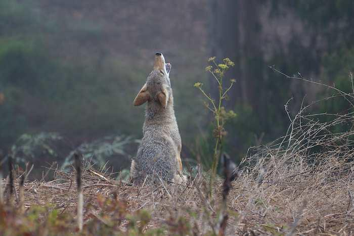 Coyotes Howl