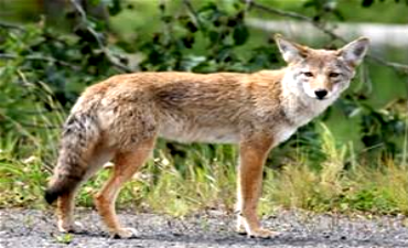 Best Hunting Simulator for Coyote Hunters