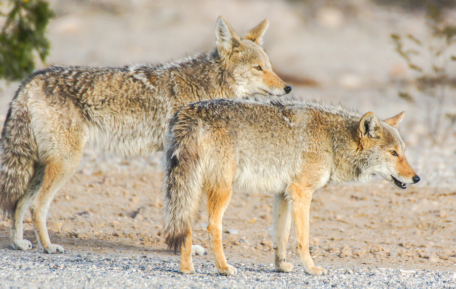 Choosing the right Coyote Bait