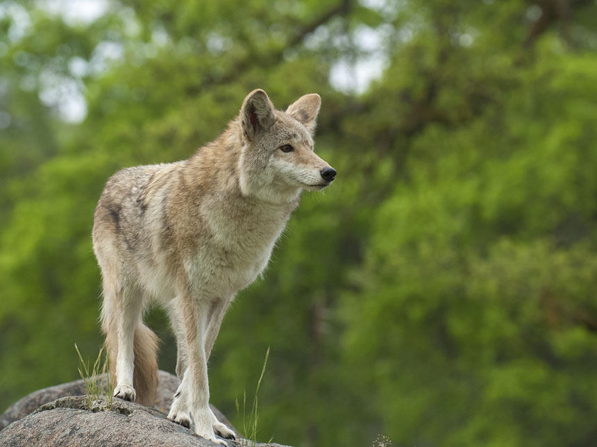 Coyote On Rock Searching For Next Meal With Green Trees In Backg