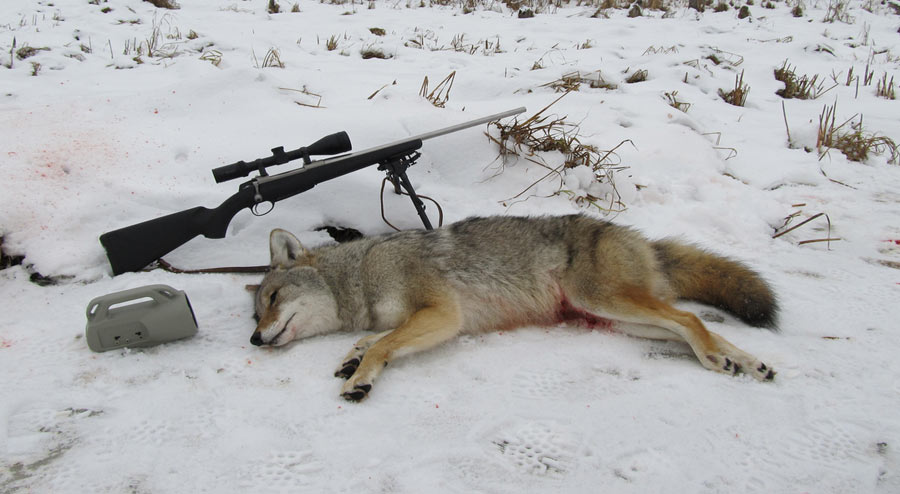 Alaska Hunting Coyote Season