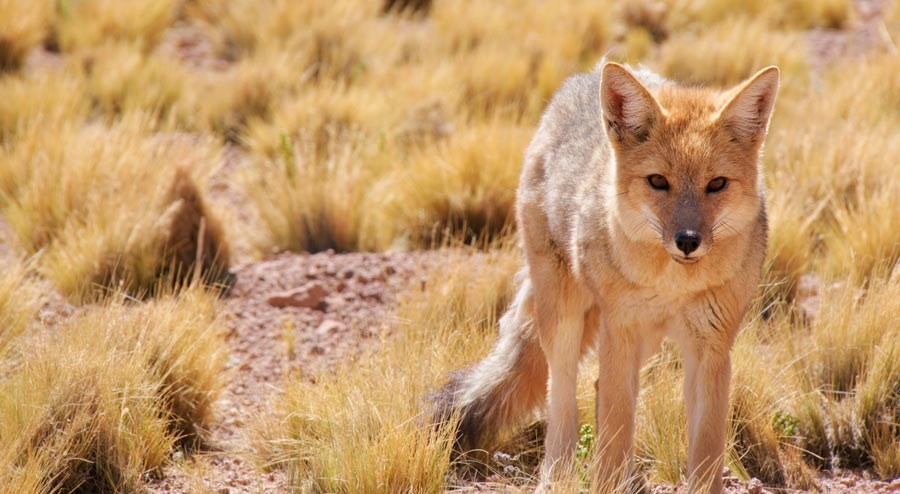 Understanding Coyote Hunting Patterns