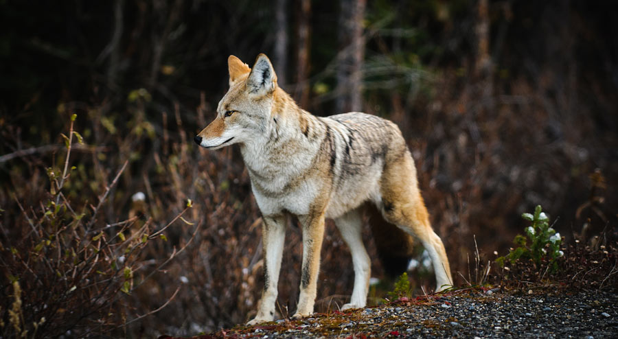 Top 4 Tips on How to Hunt Coyotes at Night