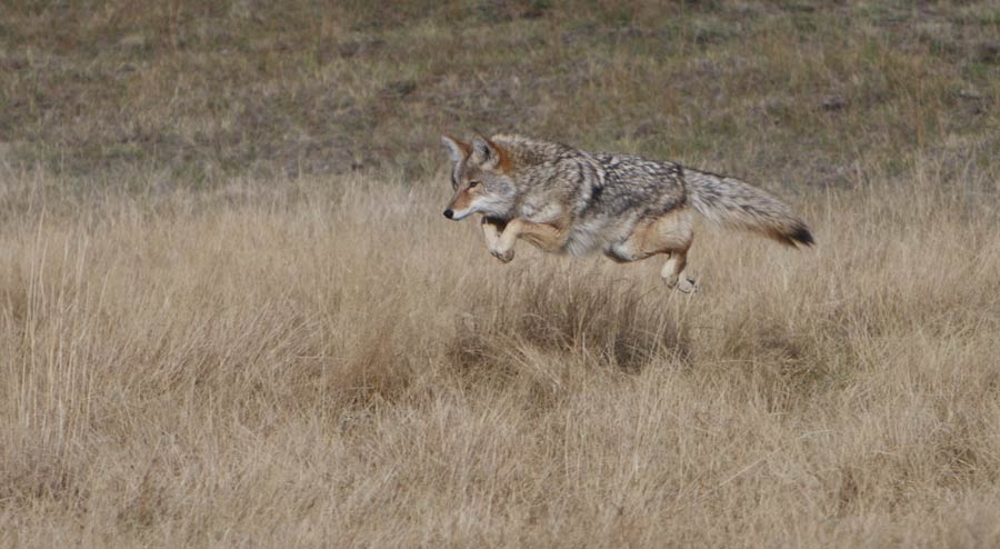 How High a Fence Can Coyotes Jump