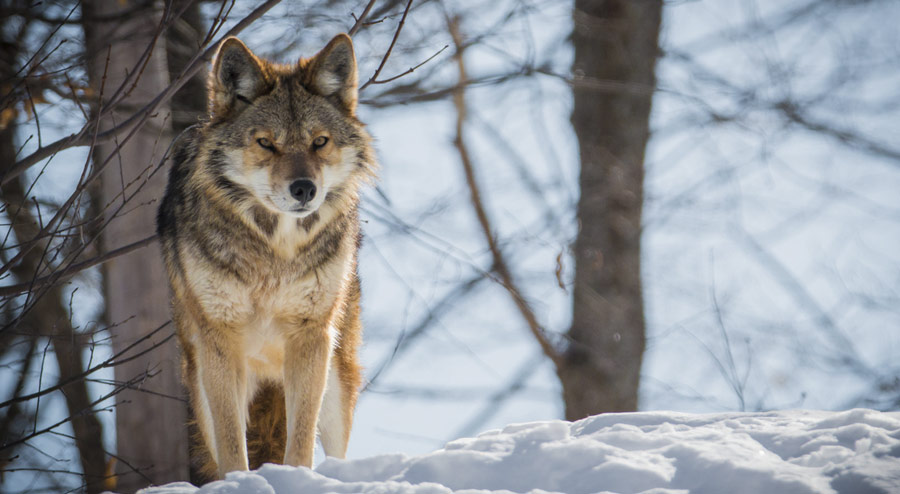 Understanding Coyote Behavior What to Know If You See or Encounter a Coyote