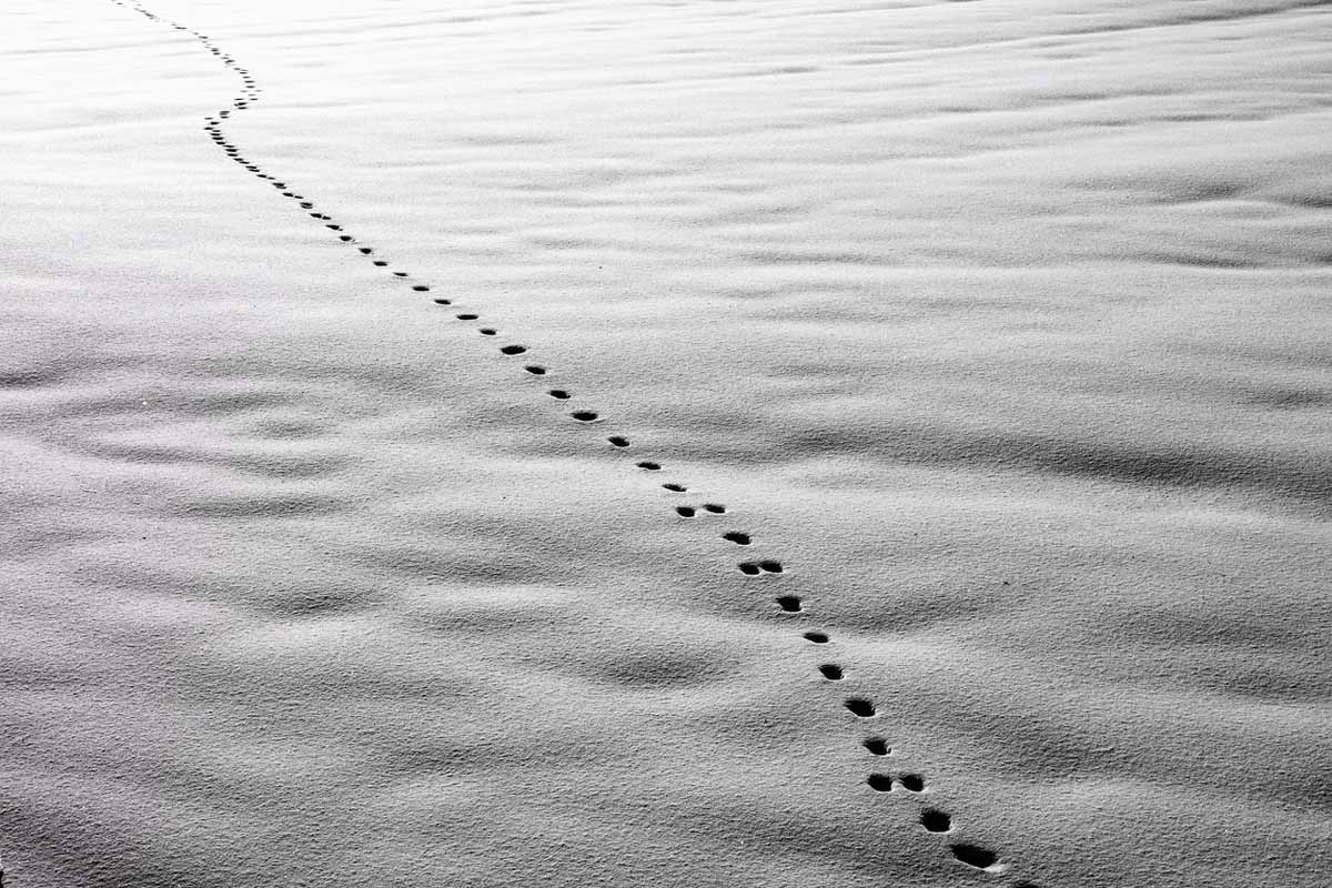 Coyote-&-Dog-Tracks